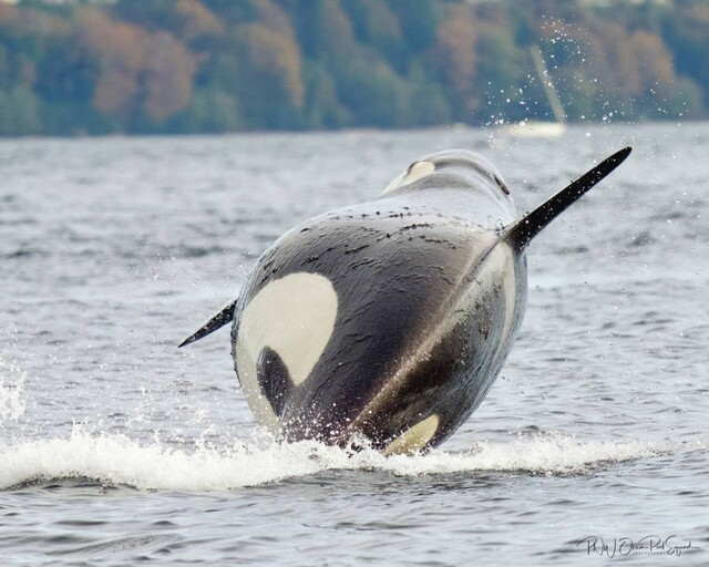 Seattle nurse captures image of likely pregnant J-Pod whale - BC News
