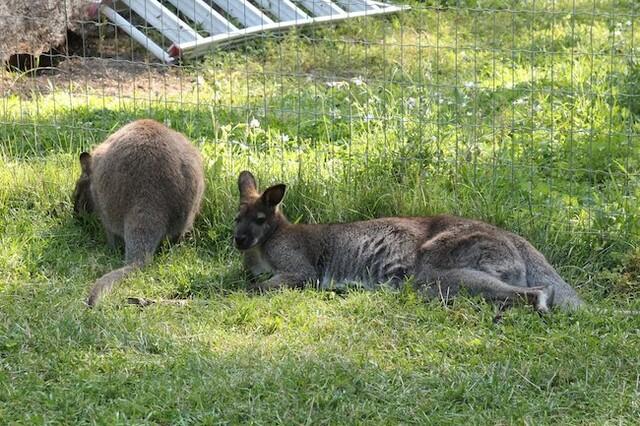 Kangaroo farm reopening with long list of COVID precautions - Kelowna News