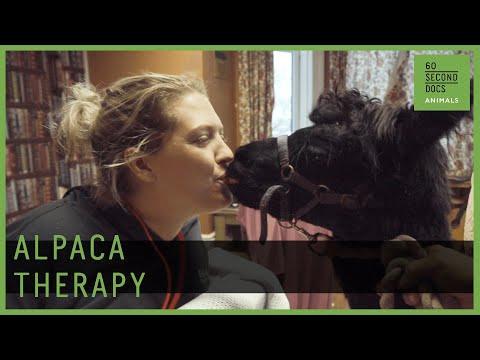 Alpaca therapy - Around The Web