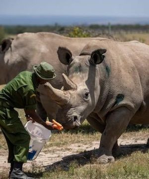 Efforts to bring northern white rhinos back from the brink stalled by pandemic.
