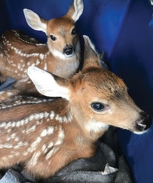 With mother killed by cougar, orphaned fawns rescued by conservation officers.