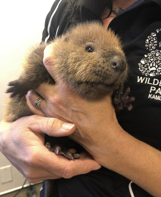 These adorable Okanagan beavers are recovering at the BC Wildlife Park - Kamloops News