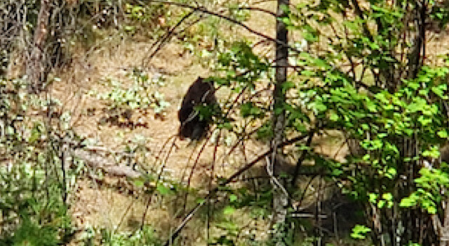 Bear cub sighted in Mission Creek Regional Park area - Kelowna News