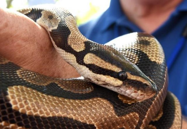 Search for missing ball python, one month after it slithered off - BC News