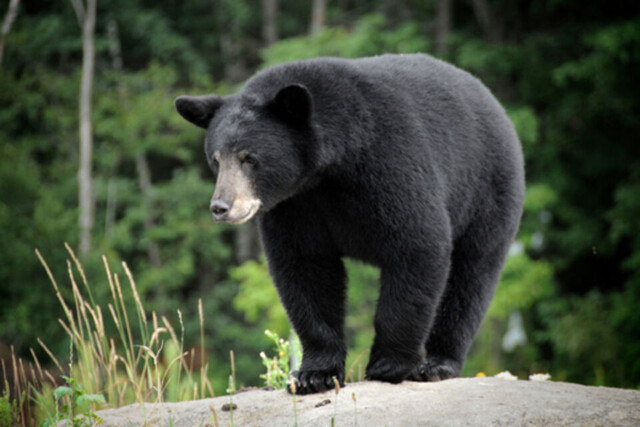 Two face charges of feeding black bears in Whistler - BC News