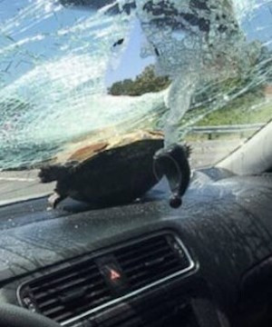 Passenger survives being hit in the head by flying turtle on Florida interstate.