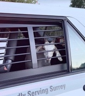 Surrey RCMP wrangle runaway goats on Highway 10.