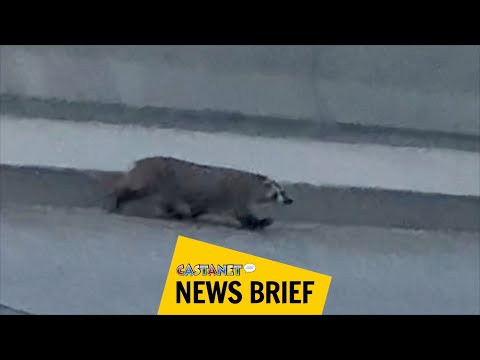 Rare badger found dead along Highway 97 in West Kelowna